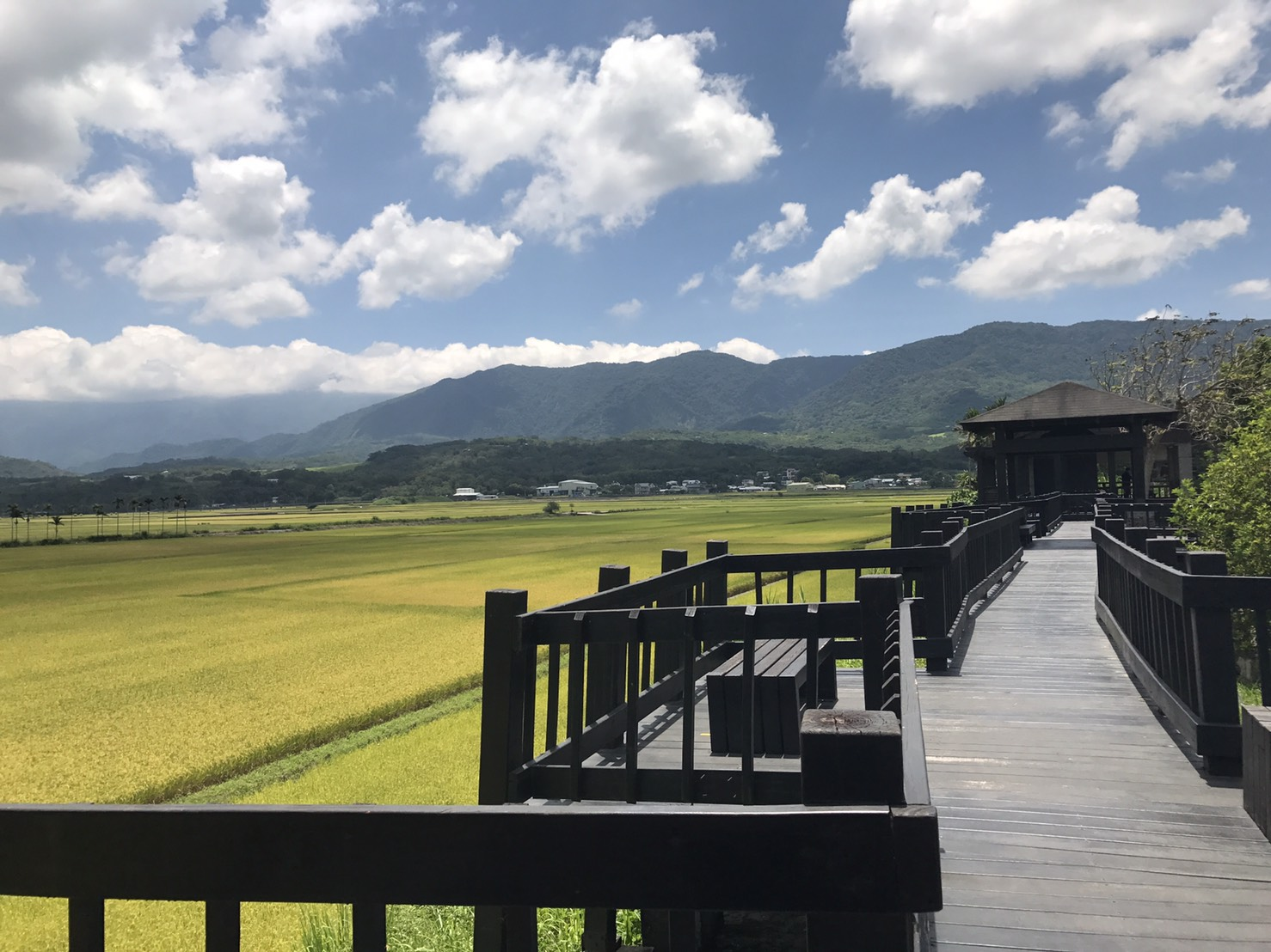 池上的收割季節:金黃色稻田!